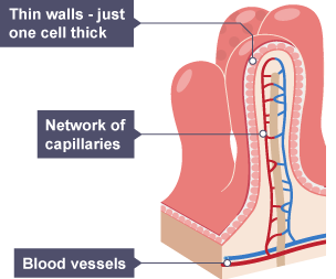 Bbc bitesize ks3 biology digestive system revision 3 shows that the walls of the villi are just one cell thick and the network ccuart Choice Image