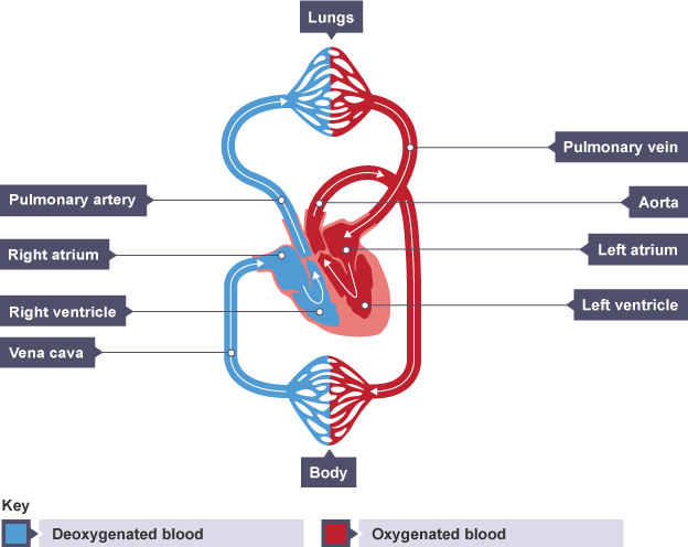 The cardiovascular system efintheline arteries carry blood away from the heart except for the pulmonary artery ccuart Gallery