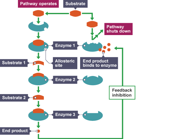 feedback inhibition essay Without enzymes, these reactions may not occur coenzymes, in turn,  what is feedback inhibition & why is it important in regulating enzyme activity.
