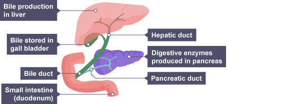 Bbc bitesize gcse biology digestive system revision 5 the hepatic duct travels from liver and gall bladder passing by pancreas where digestive enzymes are ccuart Image collections