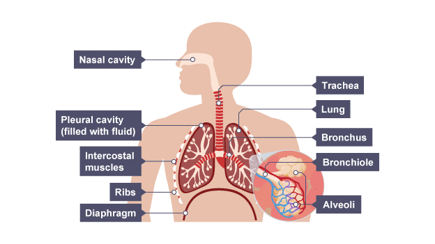 Image result for lungs labelled diagram ks2