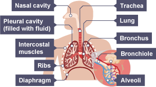 bbc bitesize gcse biology single science respiratory