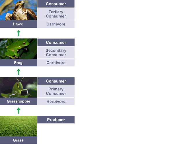 Secondary producers food web in this food web it shows what the secondary producers bbc bitesize ks3 biology food chains and food webs revision 1 ccuart Images