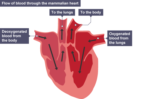 Bbc bitesize national 5 biology transport systems animals flow of blood through the mammalian heart deoxygenated blood from the body travels through the ccuart Gallery