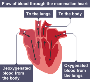 Bbc bitesize national 5 biology transport systems animals flow of blood through the mammalian heart deoxygenated blood from the body travels through the ccuart Images