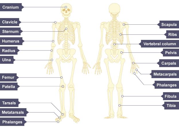Human skeleton, with the bones labelled: cranium, clavicle, sternum, humerus, radius, ulna, femur, patella, tarsals, metatarsals, phalanges.