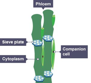 Diagram showing how the phloem moves food substances around the plant