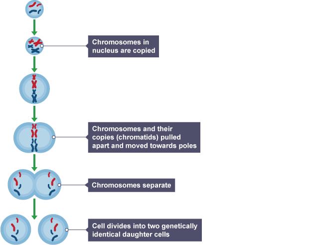Diagram explaining the process of mitosis
