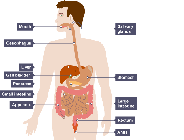 bbc bitesize - ks3 biology - digestive system - revision 1, Human body