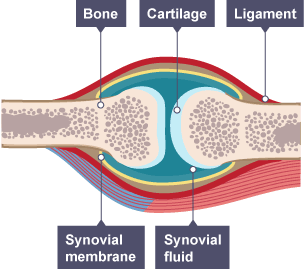 physiology of human bones and joints biology essay Session 5 anatomy and physiology lab report  anatomy and physiology essay  what effect would the loss of articular cartilage have on a joint,its bones and their.