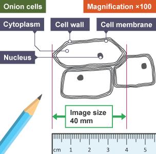 bbc bitesize gcse biology wales 2016 onwards cells. Black Bedroom Furniture Sets. Home Design Ideas
