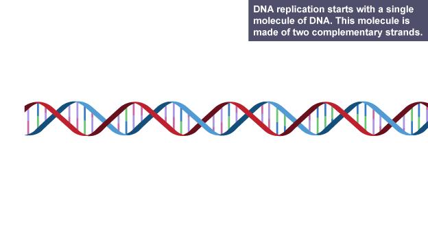 Process of dna replication essay