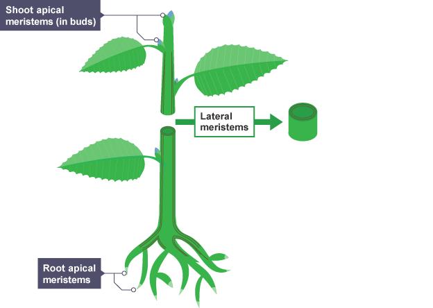 Meristematic tissue in plants diagram
