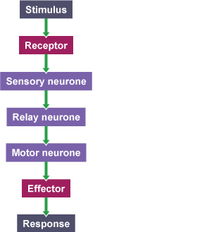 Bbc bitesize gcse biology the nervous system revision 2 flow chart showing how information passes from receptors to effectors from stimulus to receptor ccuart Choice Image