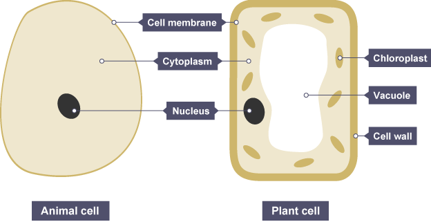 Bbc bitesize ks3 biology cells to systems revision 3 animal and plant cells both have a cell membrane cytoplasm and a nucleus ccuart Image collections