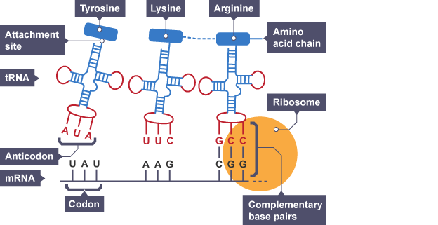 protein synthesis translation diagram
