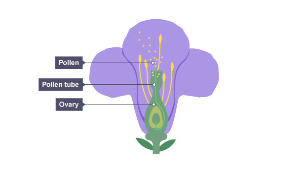 Bbc bitesize gcse biology reproduction in plants revision 4 pollen grains are above plant reproduction a pollen tube comes out of the ovary pollen grains are above ccuart Images