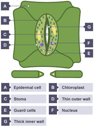 BBC Bitesize - GCSE Biology - Gas exchange in plants ...