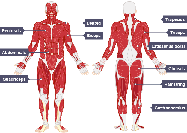 The muscular system | efintheline