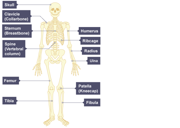 bbc bitesize - ks3 biology - skeletal and muscular systems, Skeleton