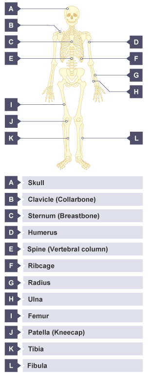 bbc bitesize - ks3 biology - skeletal and muscular systems, Skeleton