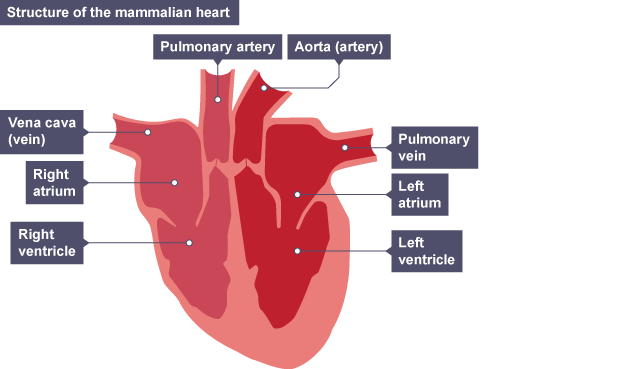 ... Mammal heart structure. Shows vena cava, ight and left atrium, right and left