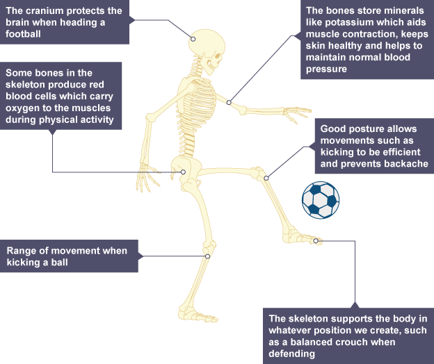 The skeletal system | efintheline