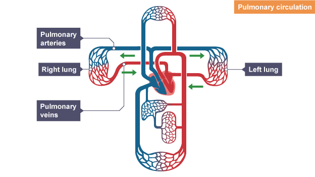 Bbc bitesize gcse biology the circulatory system revision 2 deoxygenated blood enters the lungs via pulmonary circulation is between the heart and the lungs deoxygenated blood enters the lungs via ccuart Image collections