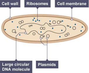 Image result for gcse bacteria Cell Diagram Labeled